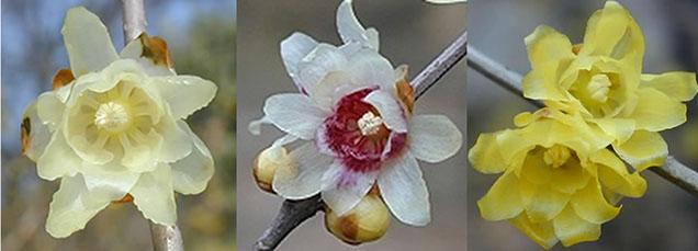 chimonathus